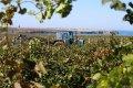 За сезон севастопольские аграрии соберут рекордное количество винограда